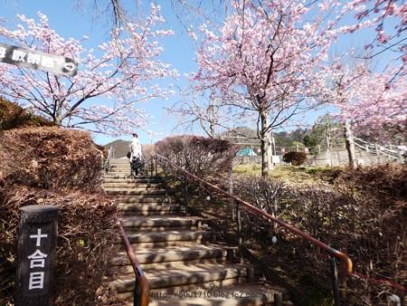 170228-松田町 河津桜 (51)