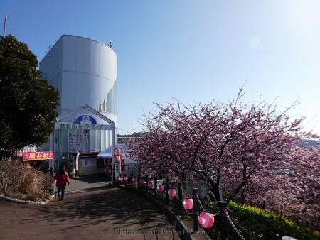 170228-松田町 河津桜 (84)