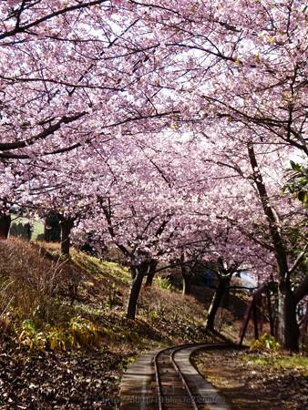 170228-松田町 河津桜 (145)