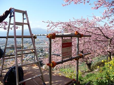 110305-松田山 河津桜 (40)