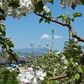 Photos: リンゴの花と岩手山