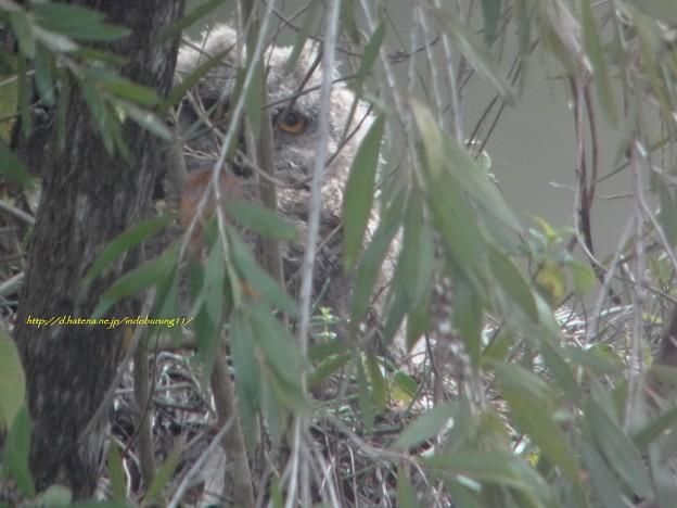 IndianEagleOwl8855