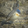 Photos: Bluethroat1826signed
