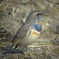 Photos: Bluethroat1834signed