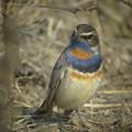 Photos: Bluethroat1849signed