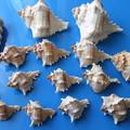 Photos: 小粒の巻貝