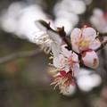 桜@三渓園