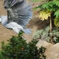 Photos: 飛ぶハシビロコウ