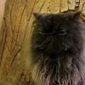 写真: 黒いモフモフ猫@てまりのおうち