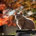 写真: 紅葉と猫1