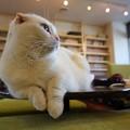 アンニュイ白猫