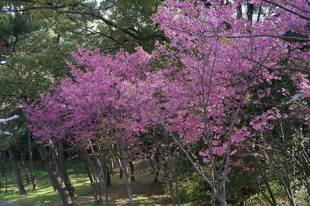 2015年3月30日 西公園 桜 福岡 さくら 写真 (28)