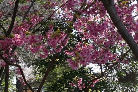 2015年3月30日 西公園 桜 福岡 さくら 写真 (29)