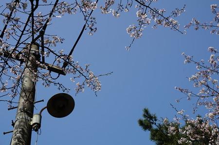 2015年3月30日 西公園 桜 福岡 さくら 写真 (32)