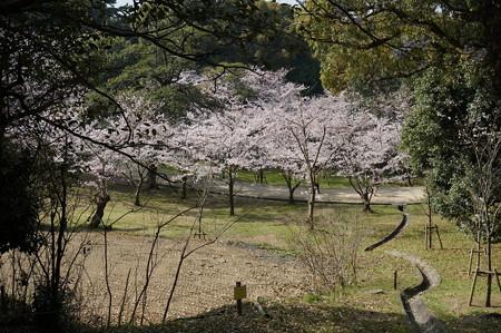 2015年3月30日 西公園 桜 福岡 さくら 写真 (34)