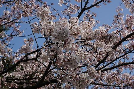2015年3月30日 西公園 桜 福岡 さくら 写真 (43)