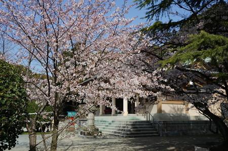 2015年3月30日 西公園 桜 福岡 さくら 写真 (102)