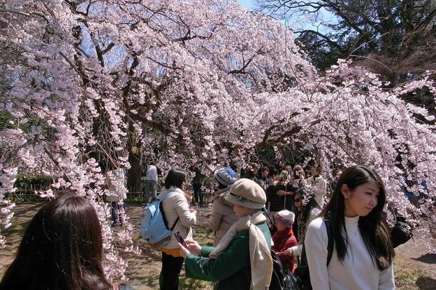 御所の桜23648