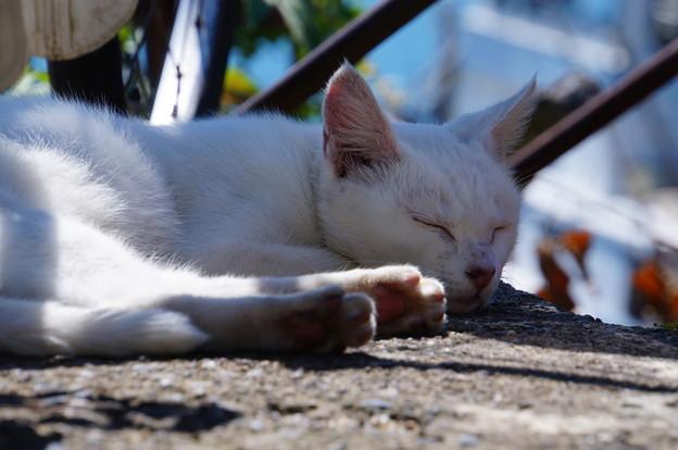 沖島のネコたち_5