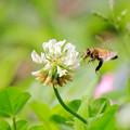 ハチとシロツメクサ2