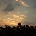 Photos: Silhouette of Sunflower in the Sunset