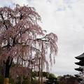 不二桜と五重塔2