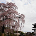 Photos: 不二桜と五重塔2