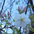 Photos: さくら開花