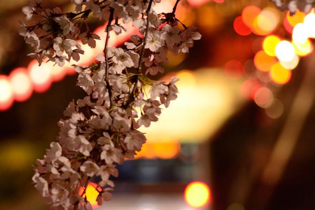 中野通り桜