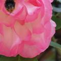 写真: お尻に花粉が