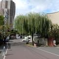 柳の木の下