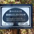 No.50号 おみたらしのイヌシデ