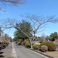 Photos: 多磨霊園のムネノキ