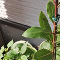 写真: テントウムシのサナギ