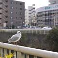 写真: 町田駅前の・・・カモメ!?