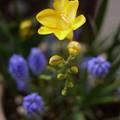 写真: フリージア開花 -1