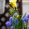 写真: フリージア開花 -2