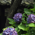 Photos: 東慶寺アジサイ02-20160612