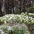 雑木林に雪の花が咲く