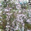 雪日のしだれ桜