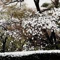 4月の雪日の源平桃風景
