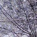 欅の小枝への積雪