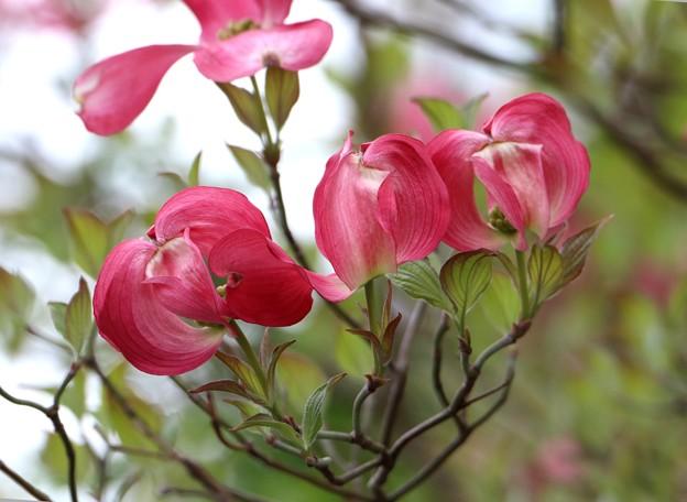 赤系の花水木