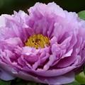 薄紫の牡丹