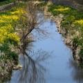 川のの両面の菜の花