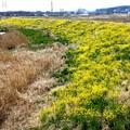 小畦川の堤防の菜の花風景