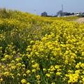 春だ! 菜の花香り風吹く