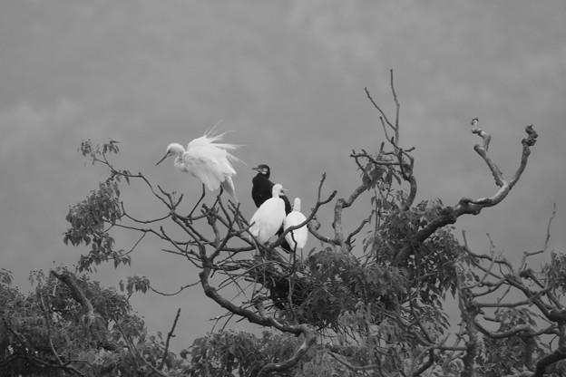 Photos: 若鷺