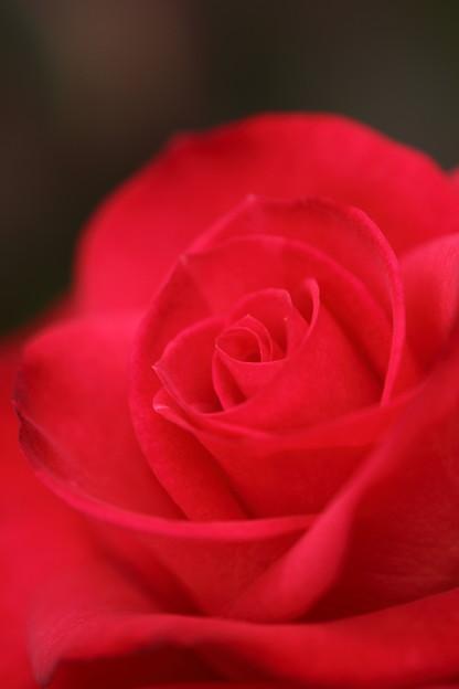 写真: バラが咲いた