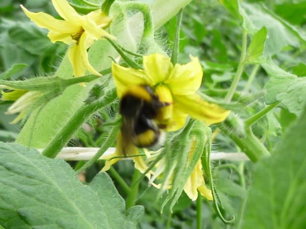マルハナバチとトマトの花